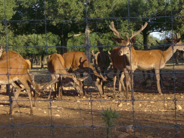 Ciervos-del-monte-el-Viejo-Palencia